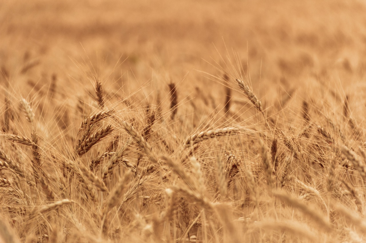 wheat-field-1205594_1280.jpg
